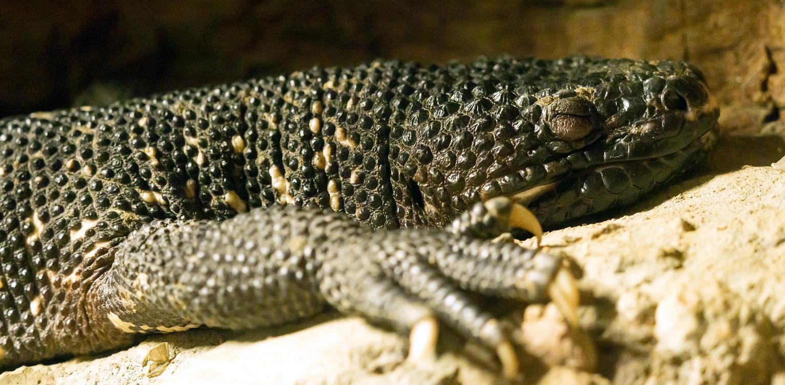 Conoce al escorpión del Motagua reptil guatemalteco cementos progreso guatemala rio