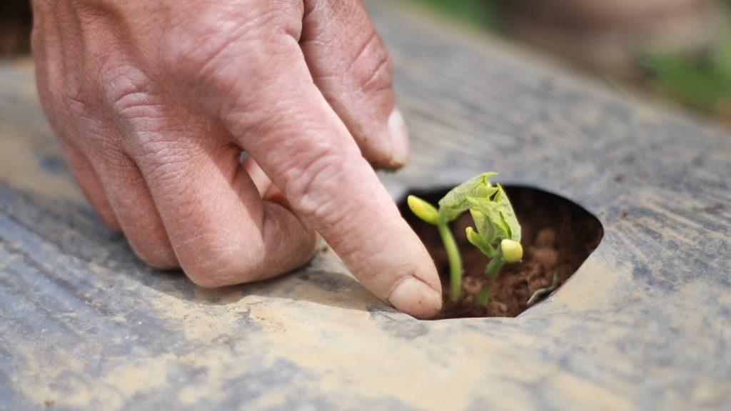 cultivo legumbres progreso guatemala