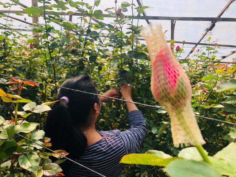 rosas de exportacion progreso finca el pilar guatemala central america