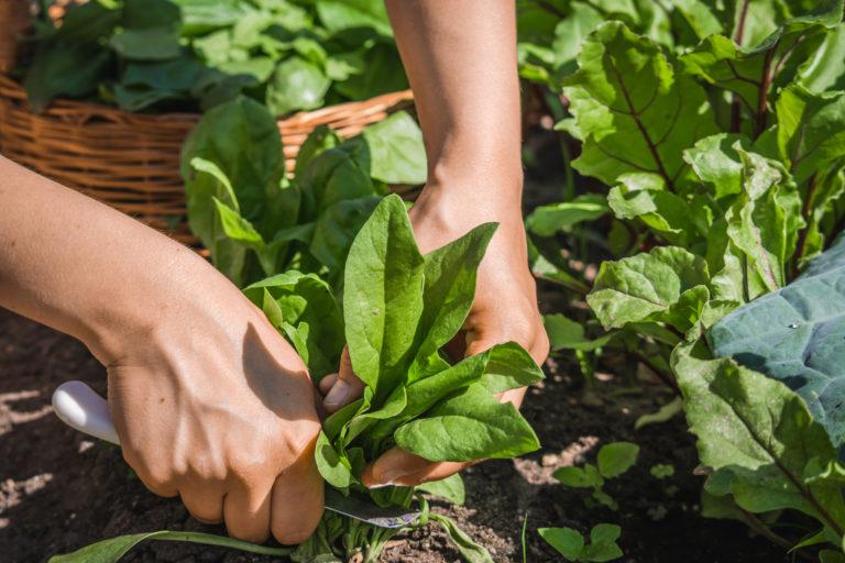 cultivando acelga y espinaca finca el pilar how to huerta en casa progreso latam